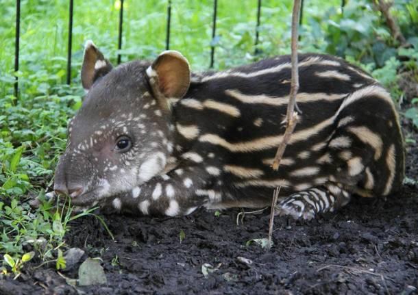 Lodi tapiro le cornelle