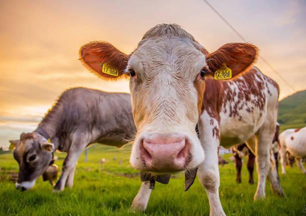 La mucca Carolina - foto di Daniele Venegoni