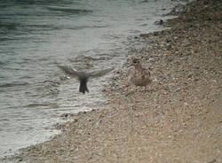 La foce del Tresa e i suoi abitanti