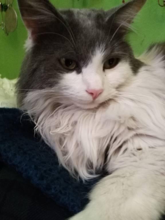 smarrito gatto osvaldo - olaf