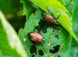L'invasione della Popillia japonica