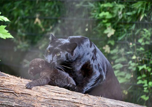 Cuccioli di pantera nera al Parco le Cornelle