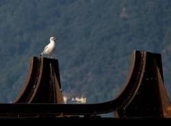 Porto Ceresio, gabbiano - foto di Elisabetta Mezzatesta Lucà
