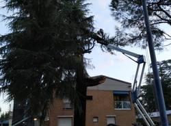 Cedro caduto Saronno