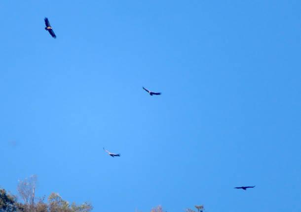 Clivio - gruppo insubrico ornitologia