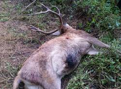 Peveranza, trovato un cervo morto vicino al torrente Tenore