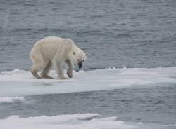 orso polare foto wikipedia