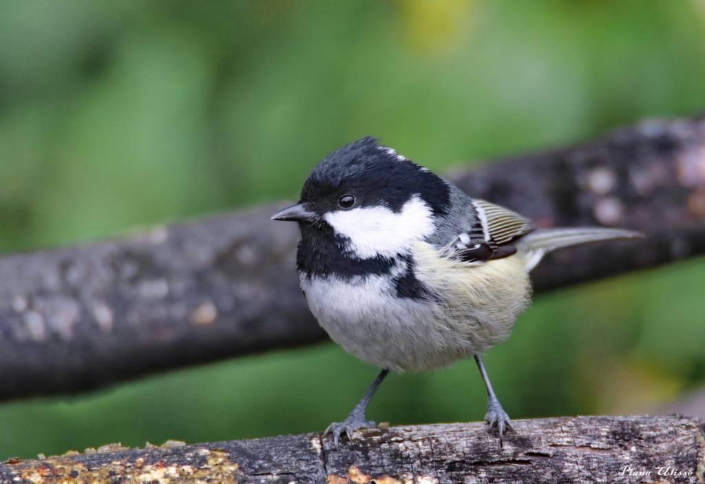 Uccellino curioso - foto di Ulisse Piana