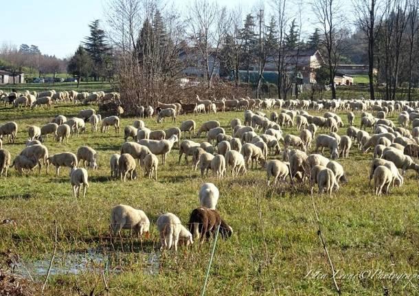Pecore ad Azzate - foto di Luca Leone