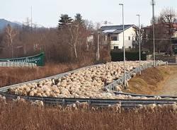 Pecore in Valceresio - foto di Jenny Santi