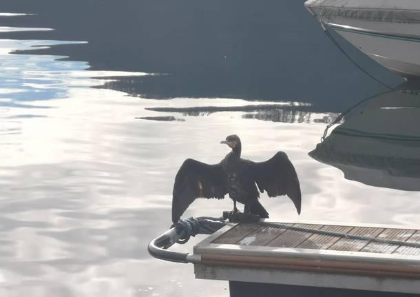 lago ceresio cormorani