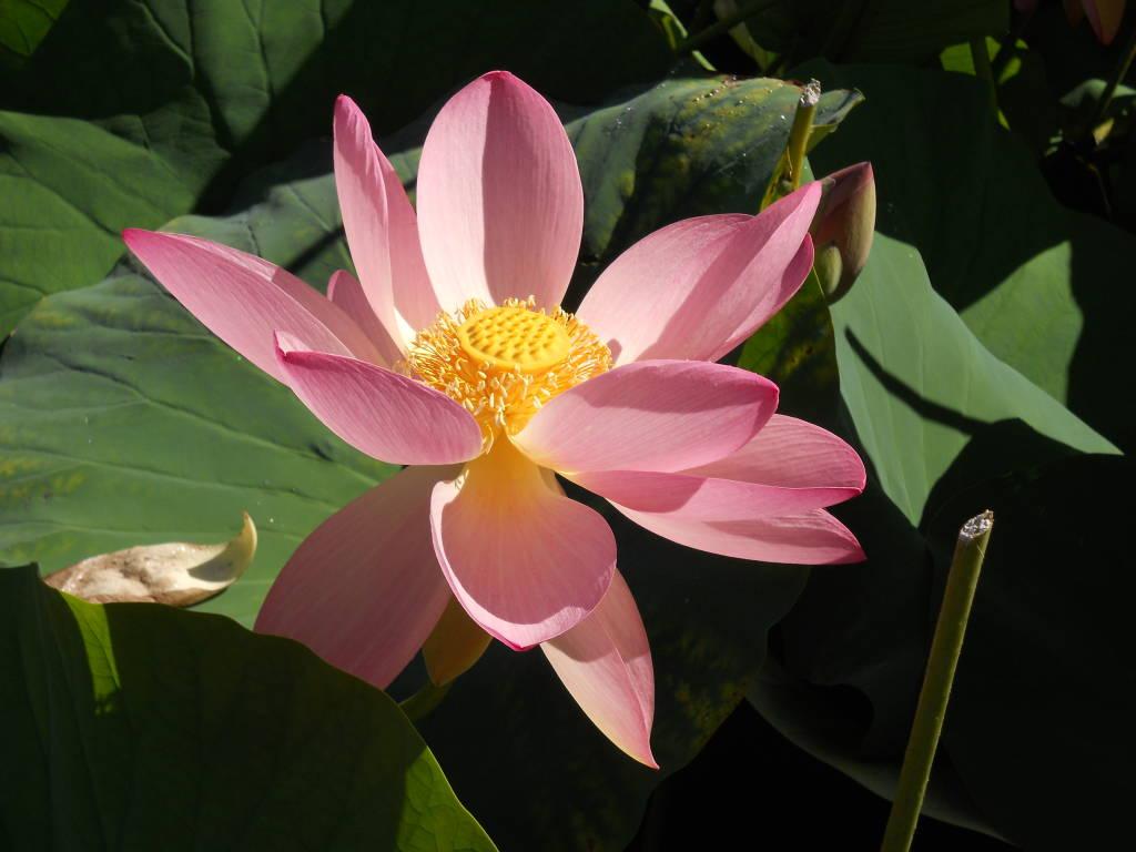 fior di loto - palude brabbia
