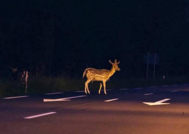 capriolo valganna animali selvatici strada