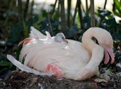 un cucciolo di fenicottero rosa è nato alle Cornelle