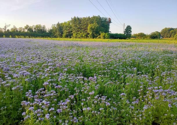 campo facelia rox farm parco alto milanese