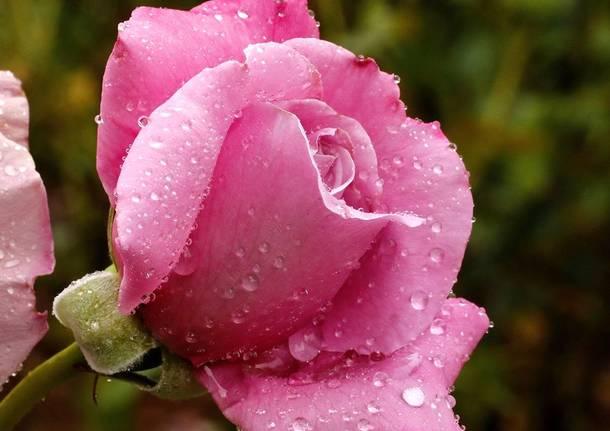 Rose - foto di Eugenio Pigato