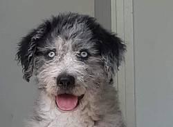 Cane trovato a induno olona
