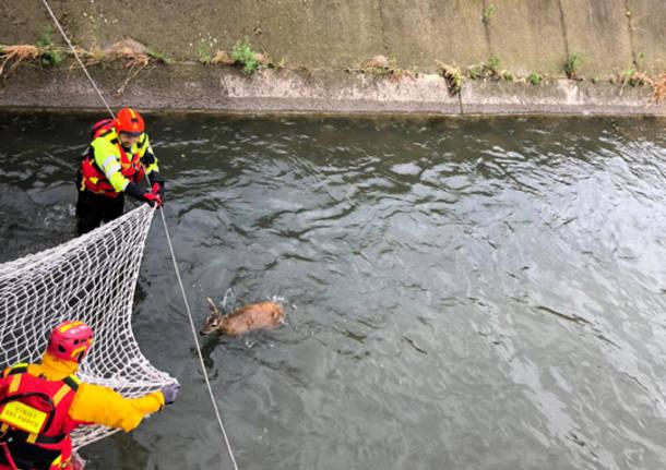 Capriolo salvato nel fiume dai vigili del fuoco