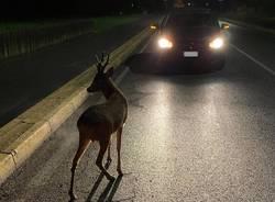 cerbiatto auto notte