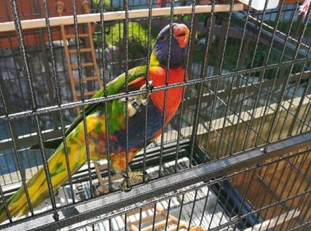 Peter pappagallo di Gemonio