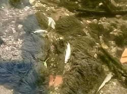 Pesci morti nell\'Olona
