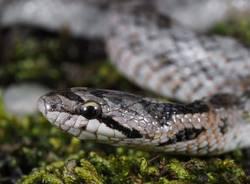 colubride di riccioli serpente