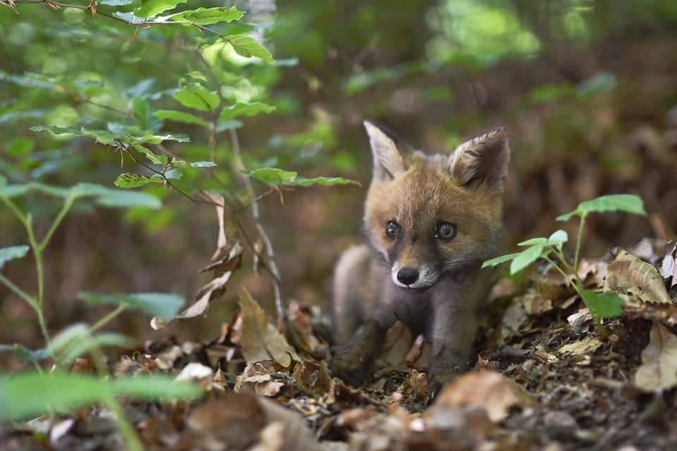 Cucciolo di volpe - Foto di Ghen Mariglen Pashku Nili
