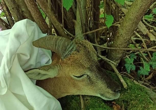 Trovano un muflone in difficoltà nei boschi di Cittiglio, chiamano i soccorsi e lo liberano