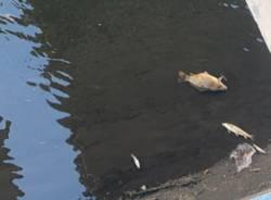 Strage di pesci nell'Olona
