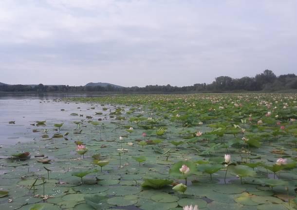 All'Isolino Virginia lo spettacolo dei fiori di loto