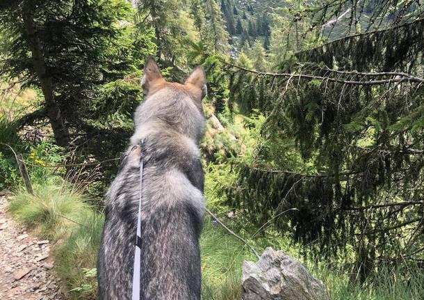 Cane lupo - foto di Aldo Passarello