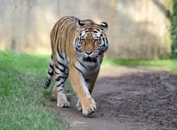 tigre dell'amur le cornelle