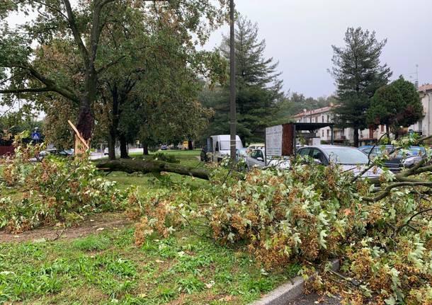 albero caduto malnate