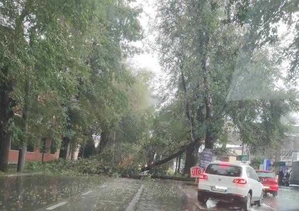 albero caduto viale borri castellanza