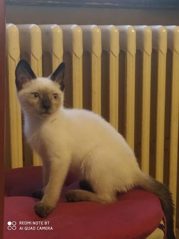 Smarrita gattina a Gemonio