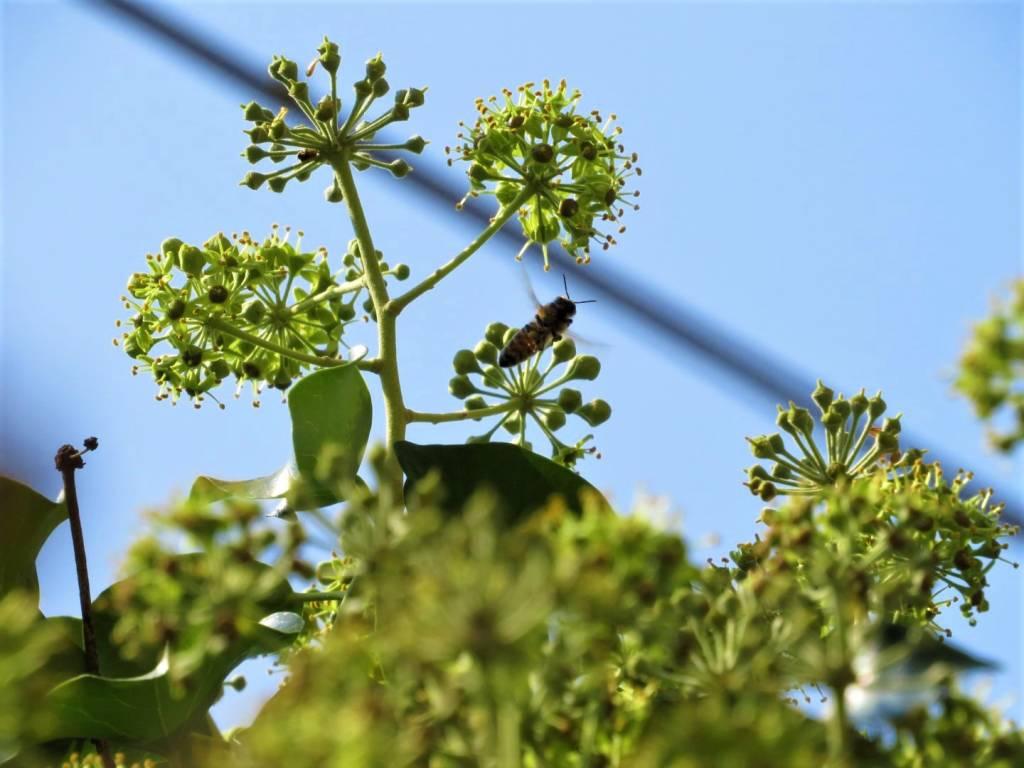 fiori di edera- api