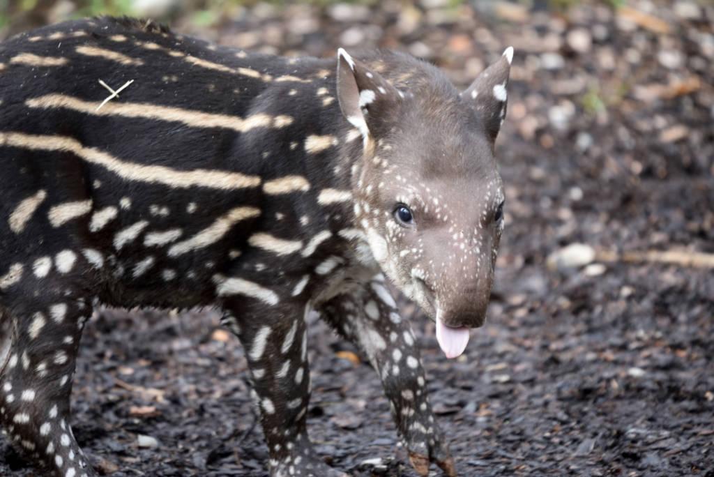 Ibis e cuccioli di tapiro e alpaca alle cornelle