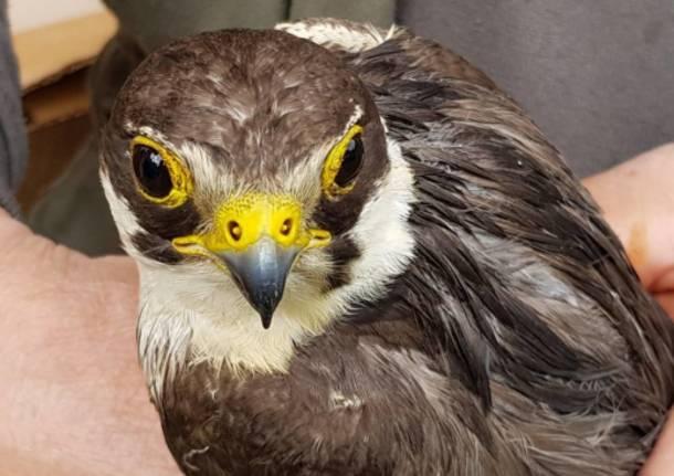 Protezione Civile Legnano Salvataggio falco