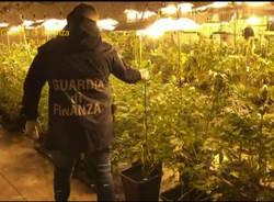 Como, 500 piante di marijuana sequestrate