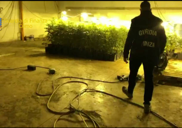 Como, 500 piante di marijuana sequestrate