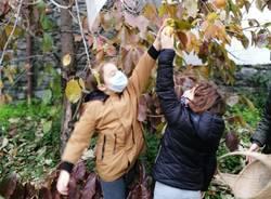 Casciago, raccolti i frutti dell'albero della pace