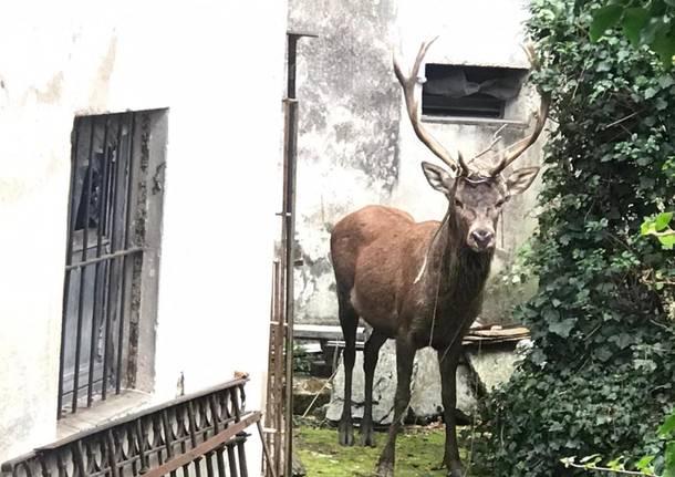 Viggiù - Un cervo in giardino
