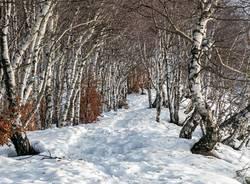 Forcora - bosco di betulle - foto di Claudio Montagner
