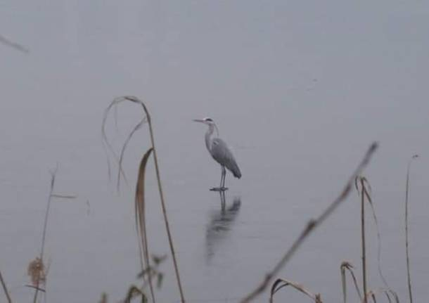 Airone sul lago di Comabbio