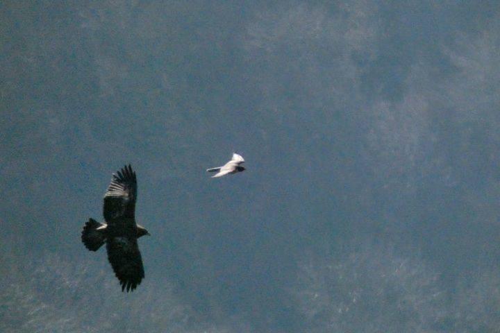 Il mobbing del falco