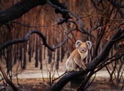 Koala Australia WWF