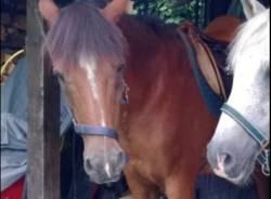 Cavallo rubato Casale Litta