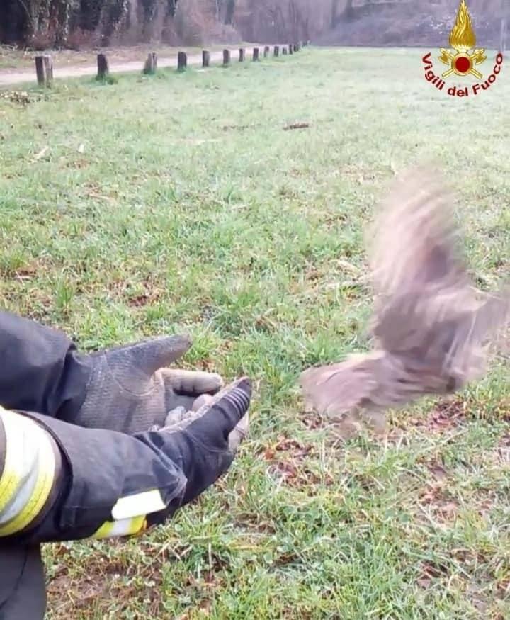 I vigili del fuoco di Lazzate salvano una civetta