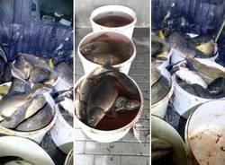 pesci sequestrati trecate