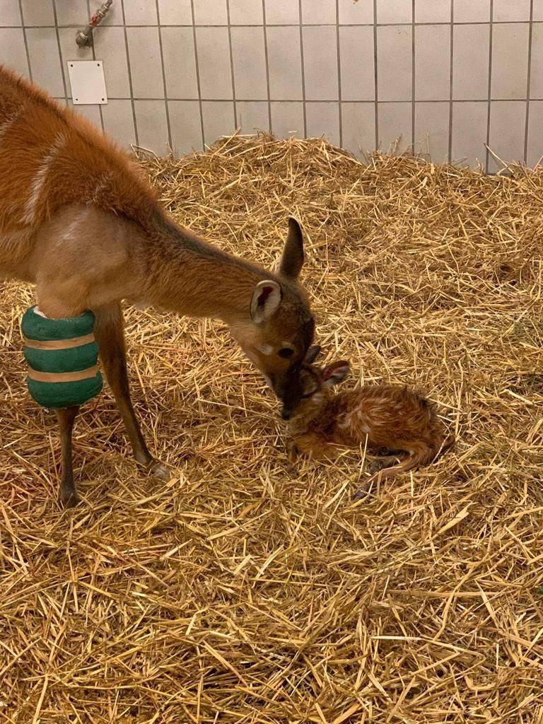 Nato un cucciolo di antilope sitatunga alle Cornelle